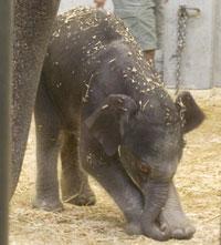 Baby Elephant 8-29